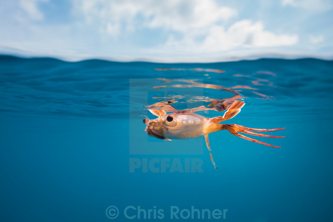 """Swimmer crab over-under"" stock image"
