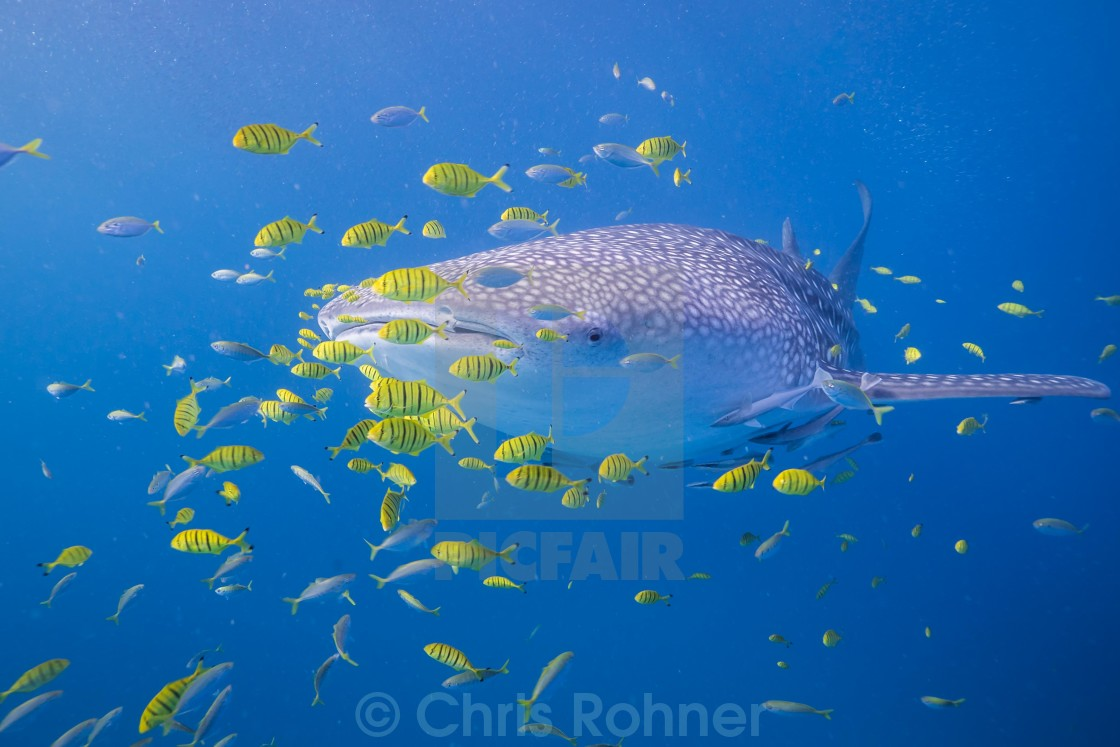 """Whale shark with entourage"" stock image"