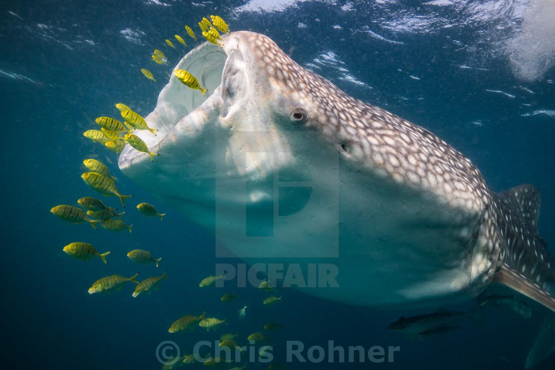 """Feeding whale shark"" stock image"