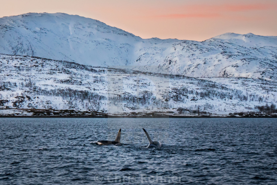 """Orcas in the polar night"" stock image"
