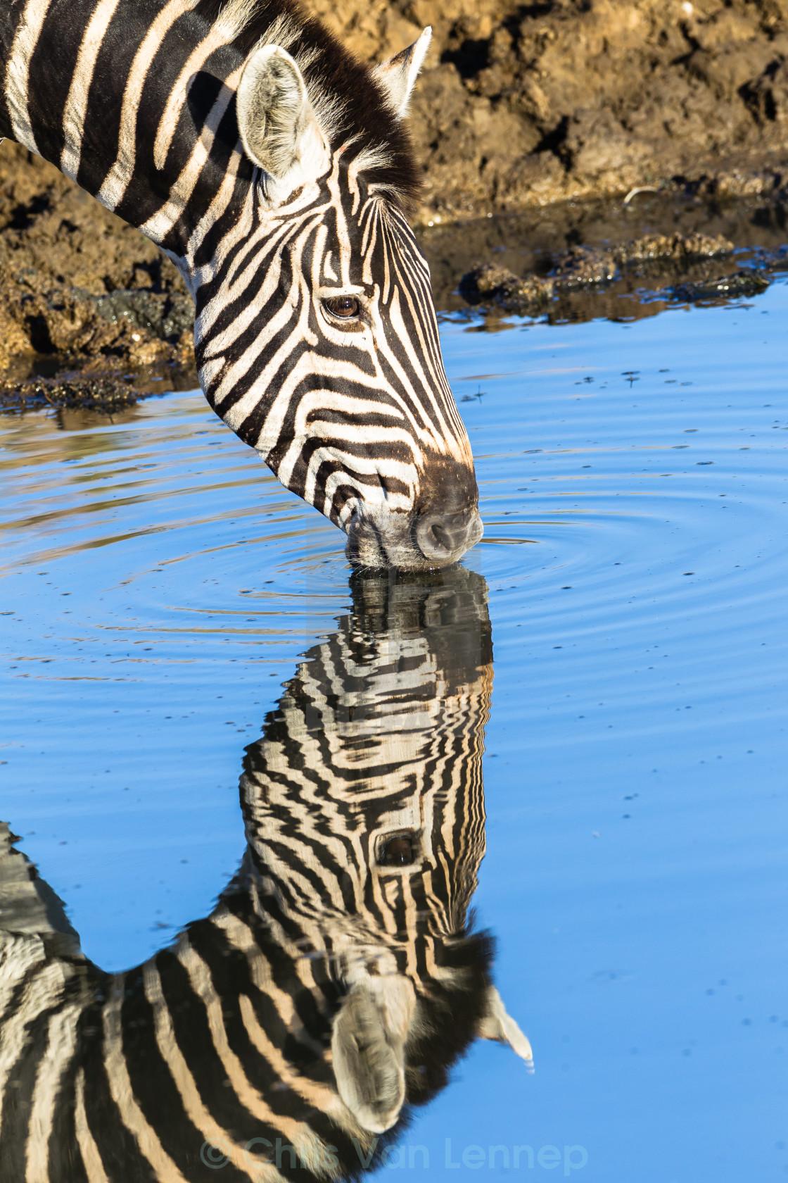 """Zebra Water Double Wildlife"" stock image"