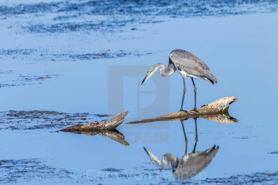 """Bird Grey Heron Wetland Fishing"" stock image"