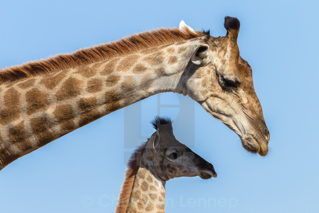 """Giraffe Mother Affections Calf Wildlife"" stock image"