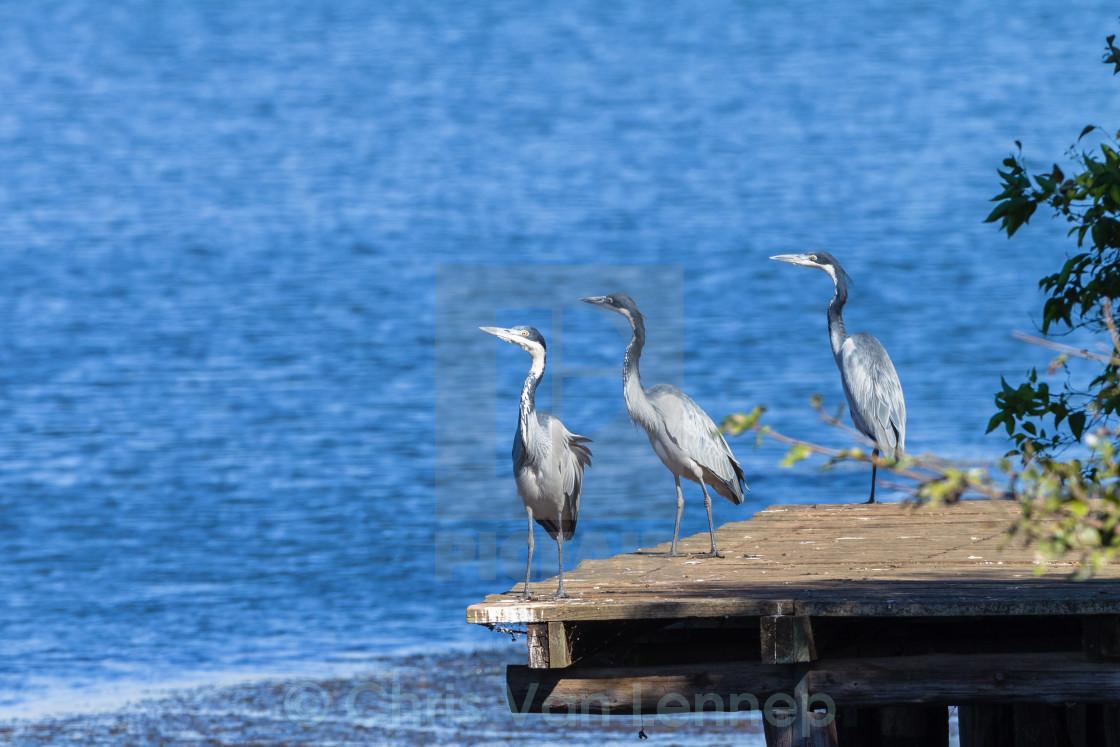 """""""Grey Heron Birds Wetland Wilderness"""" stock image"""