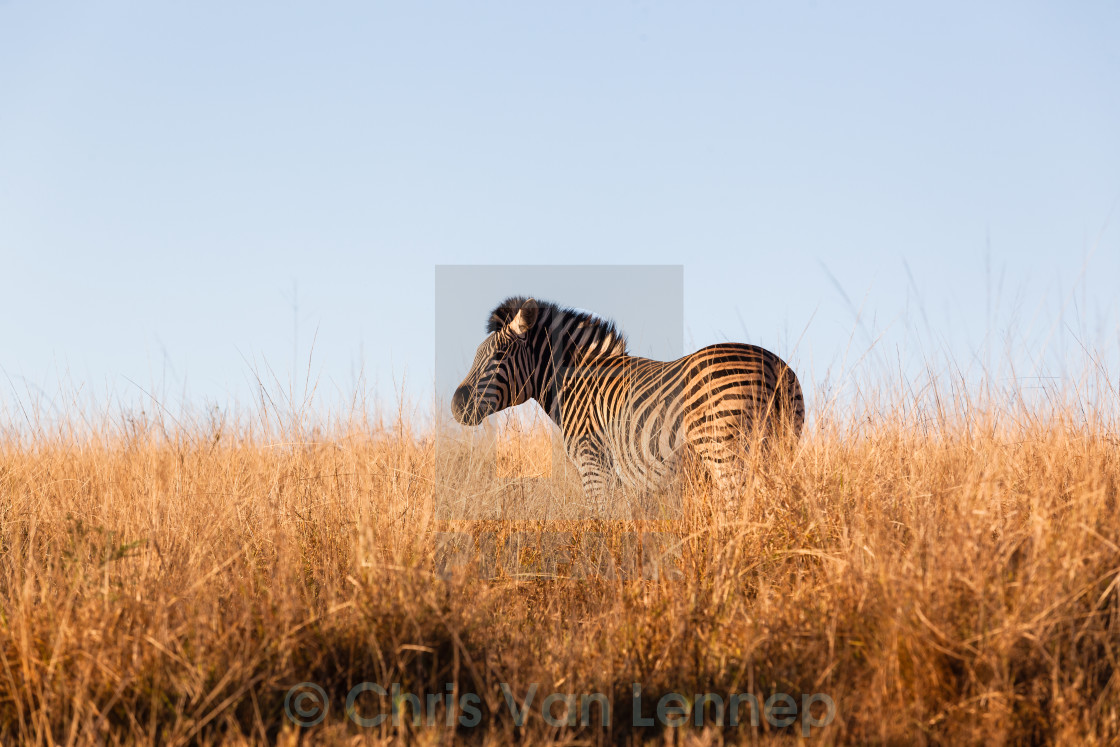 """Zebra Wildlife Grasslands Habitat"" stock image"