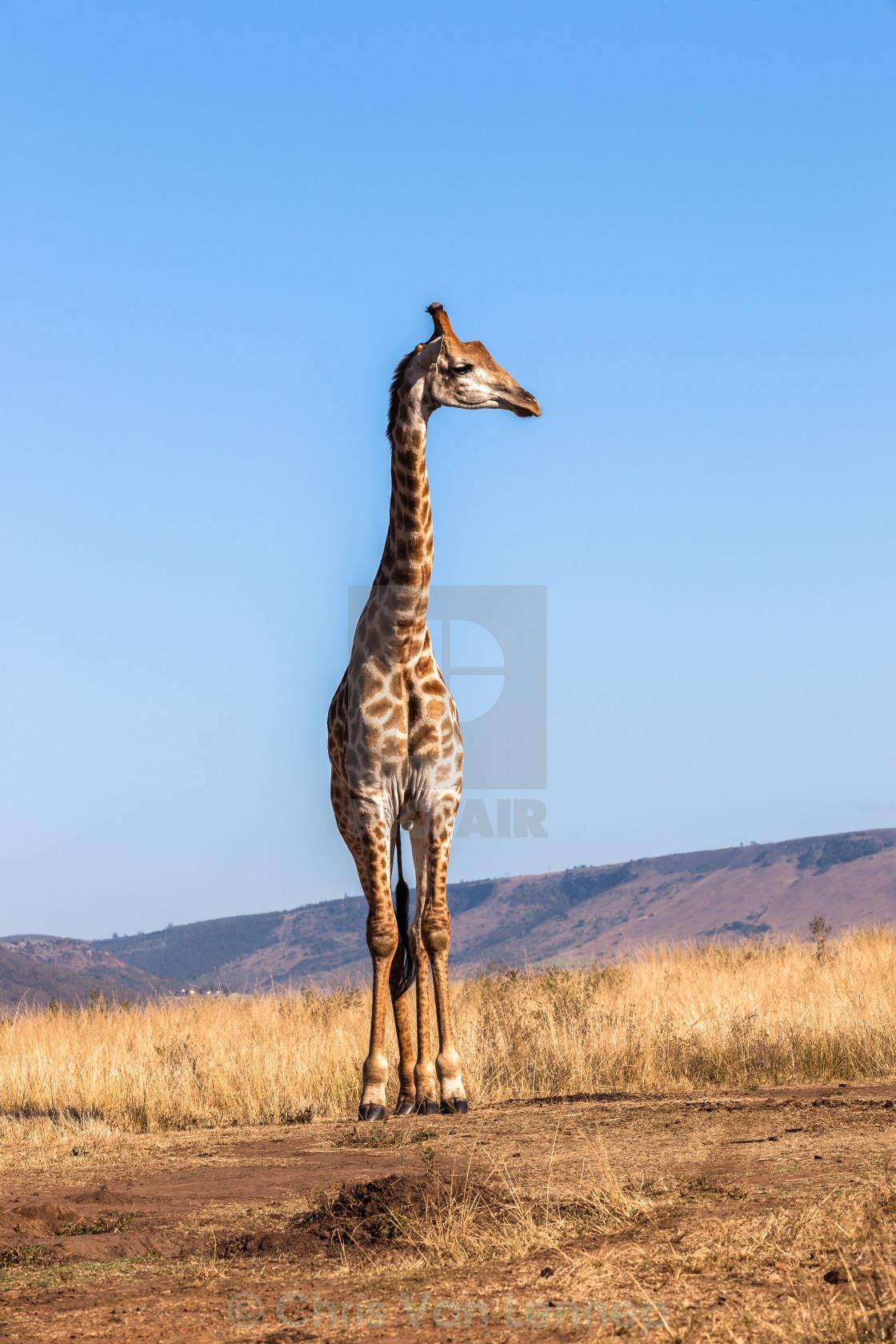 """""""Giraffe Blue Sky Wildlife Animal"""" stock image"""
