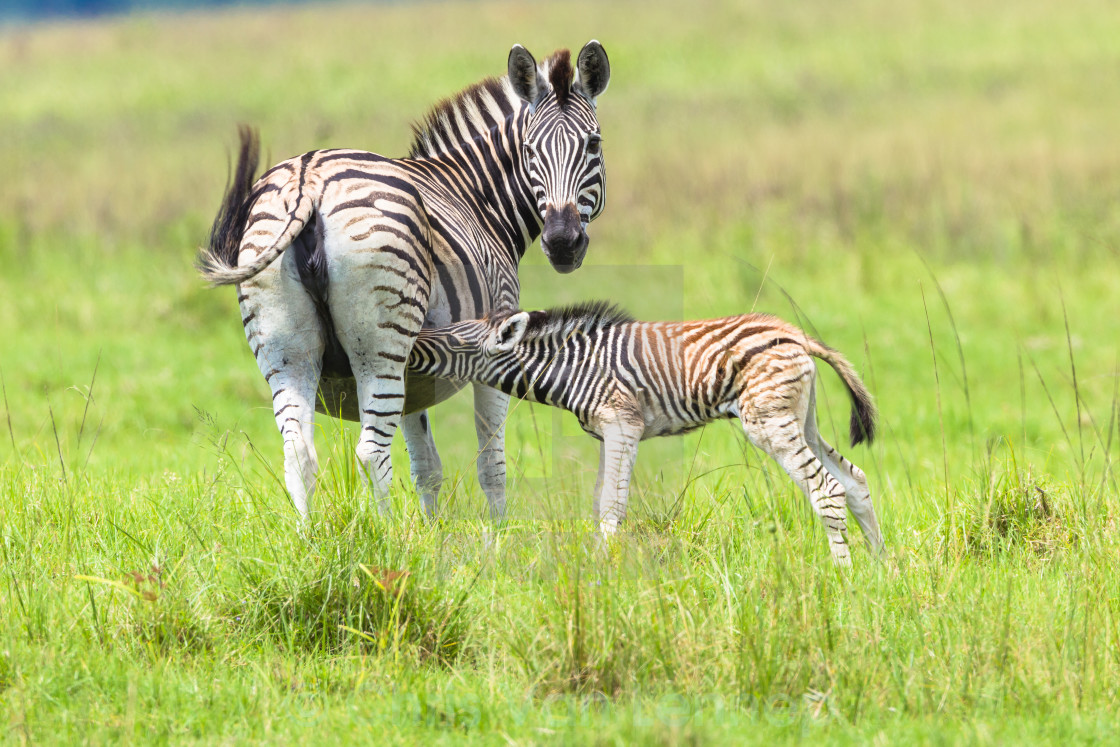 """Zebra Calf Feeding Wildlife Animals"" stock image"