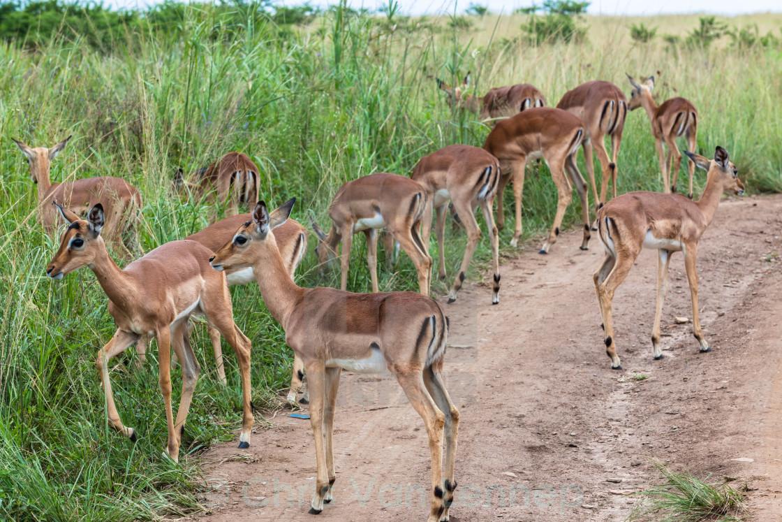"""Young Buck Wildlife Animal Herd"" stock image"
