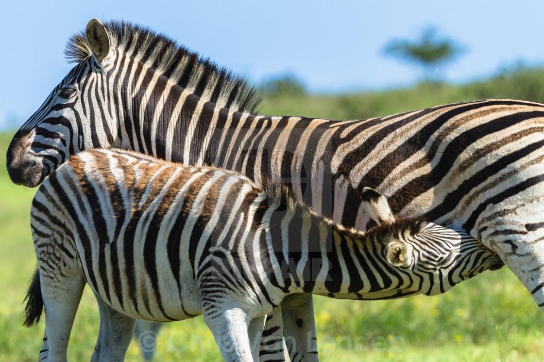 """Zebra Calf Wildlife"" stock image"