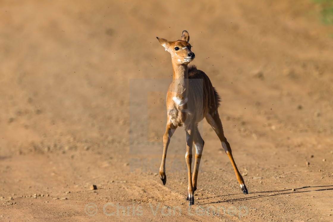 """Buck Calf Wildlife"" stock image"