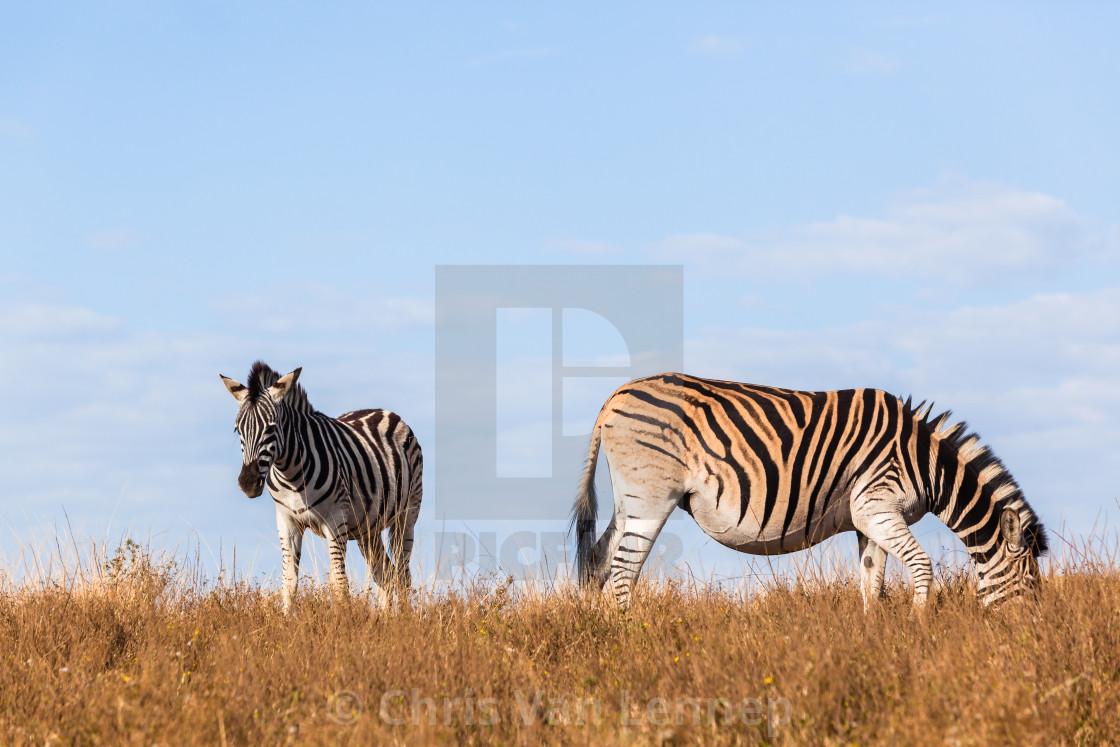 """""""Zebra Pregnant Wildlife"""" stock image"""