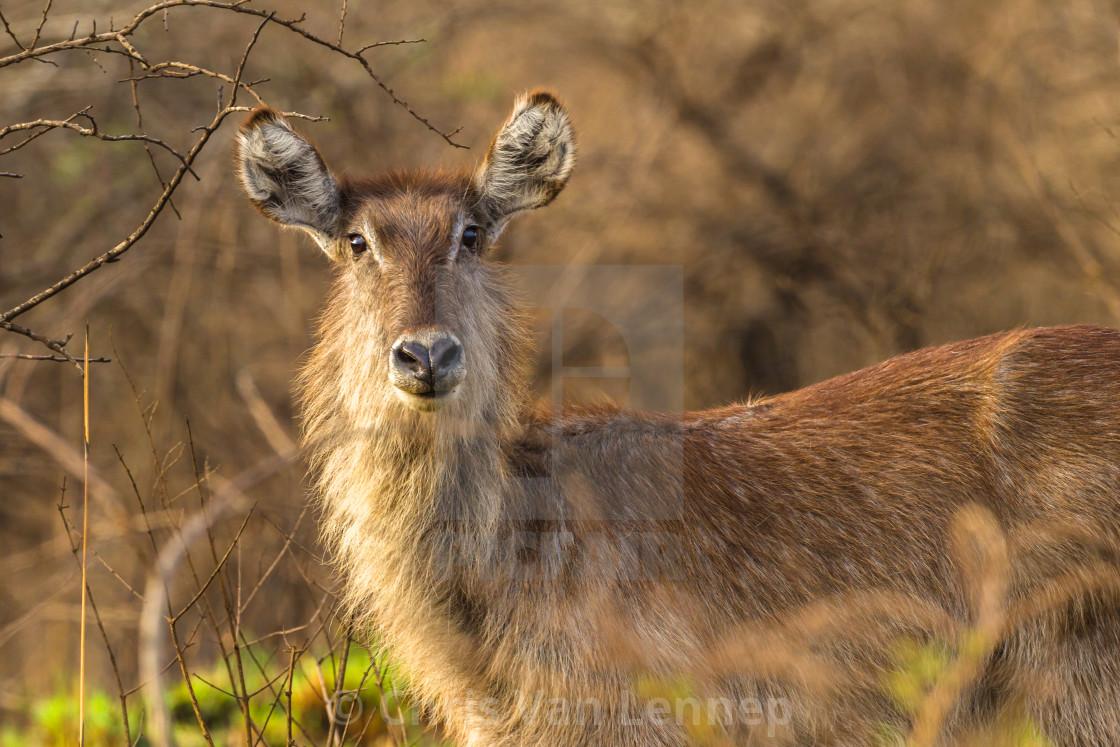 """Wildlife Waterbuck Animal Wilderness"" stock image"