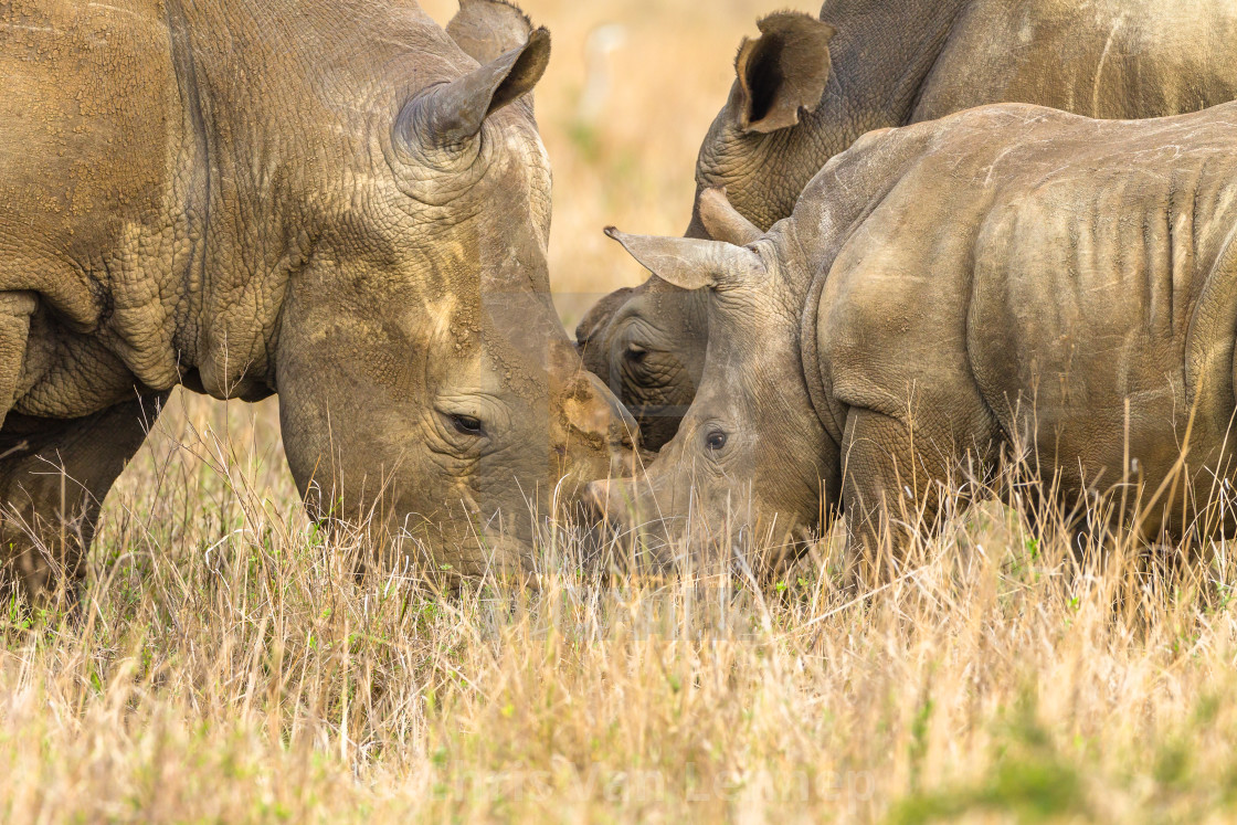 """""""Rhino's Father Mother Cub Affections Wildlife"""" stock image"""
