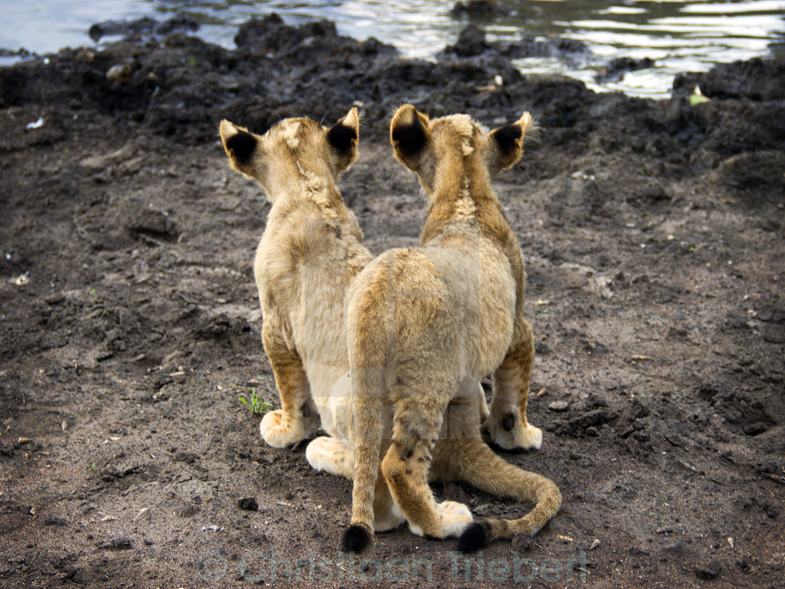 """Two lions"" stock image"