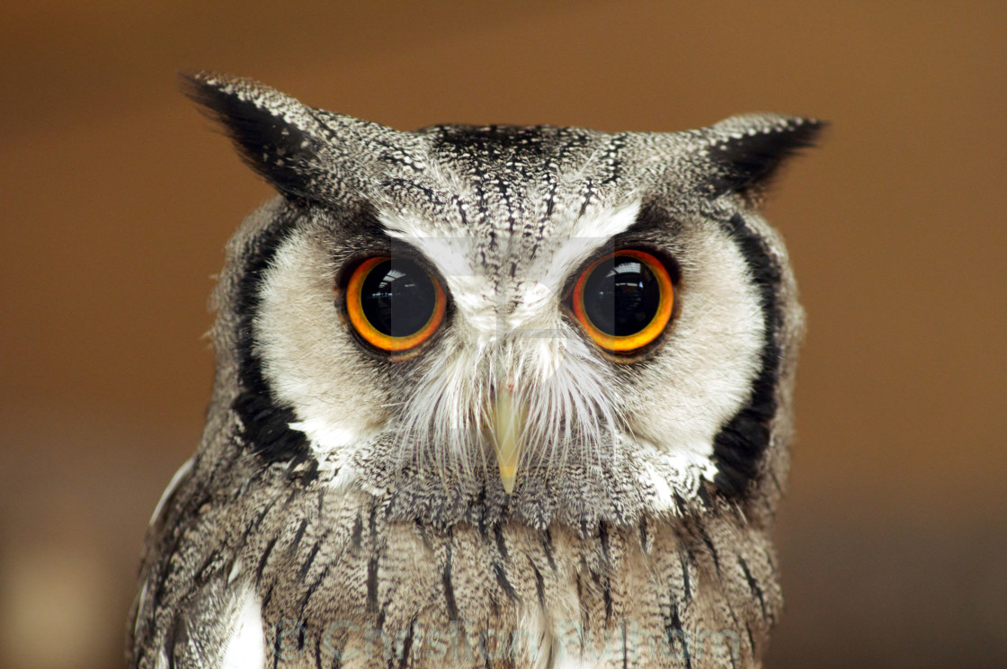 """White Faced Owl"" stock image"