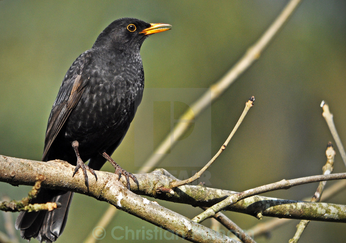 """Blackbird"" stock image"