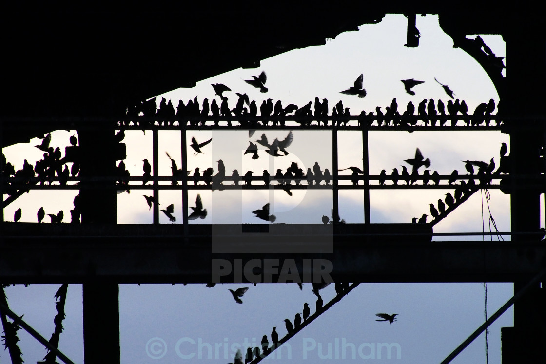 """Starling roost"" stock image"