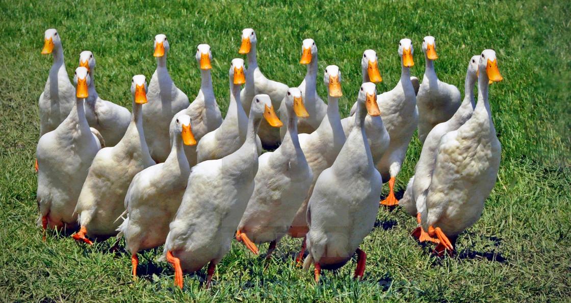 """Quack Pack"" stock image"