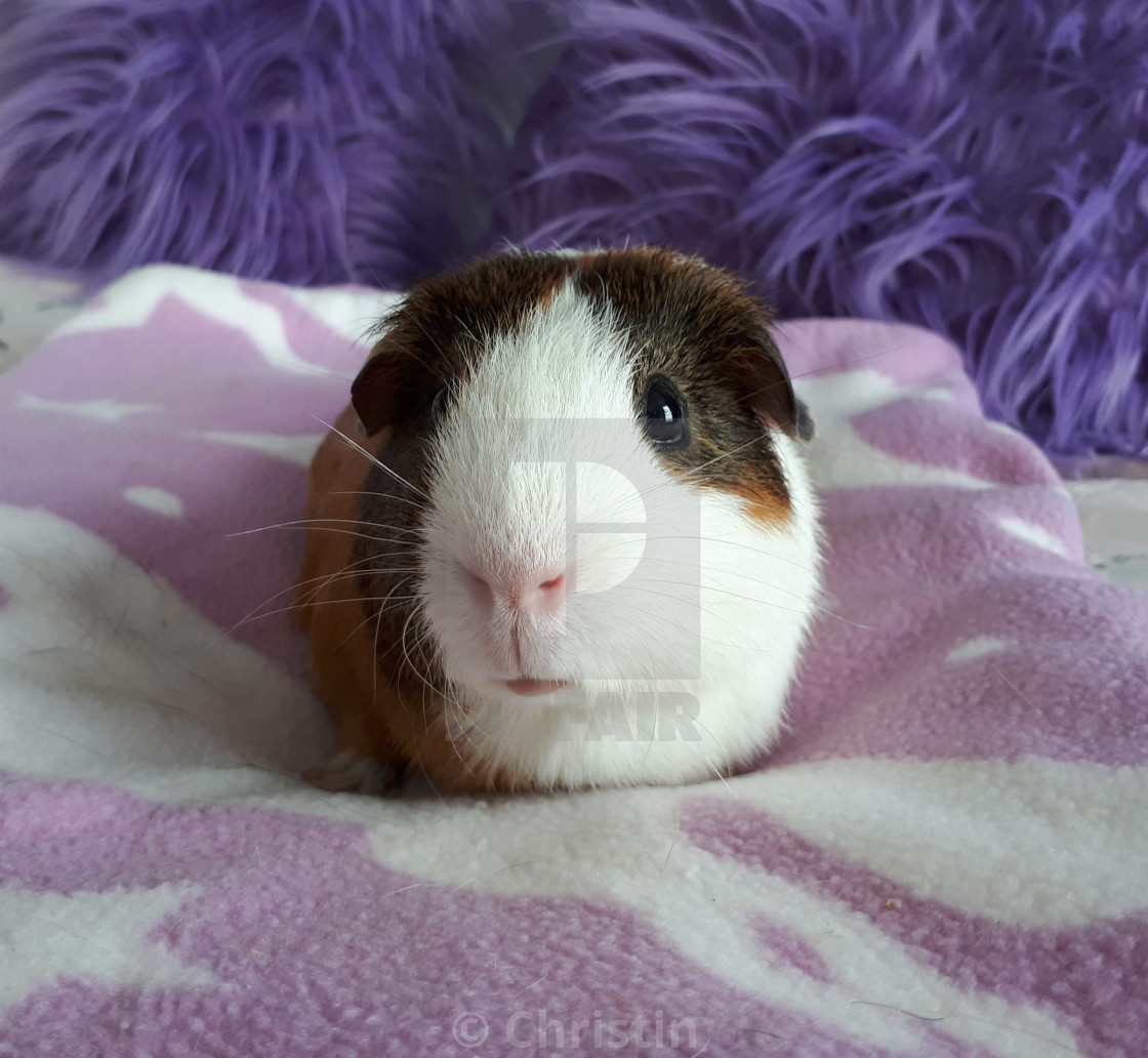 """Toffee the guinea pig"" stock image"