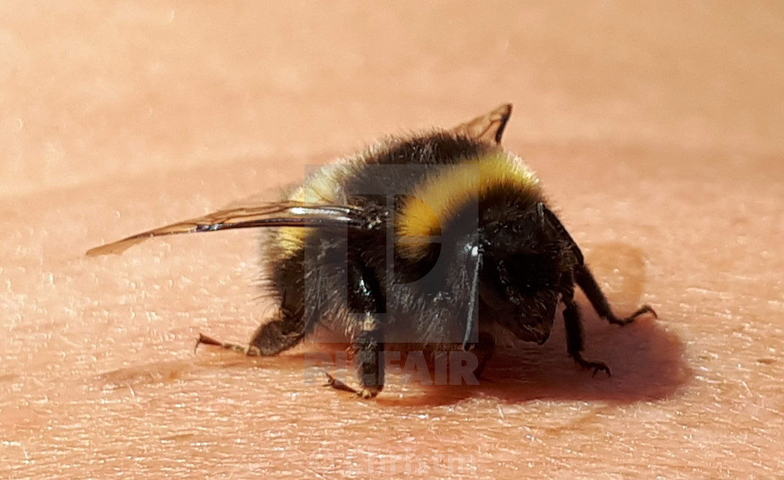 """Little Bee"" stock image"