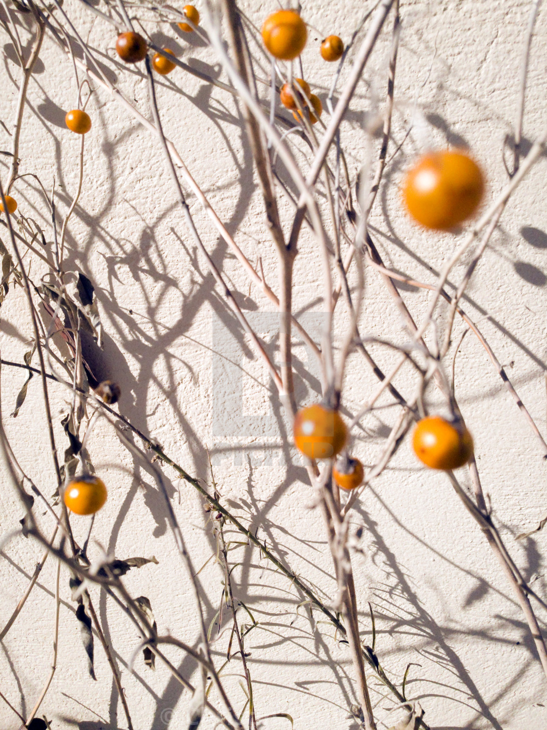 """WInter Berries"" stock image"