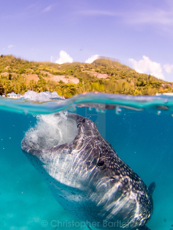 """Whale shark feeding 3"" stock image"