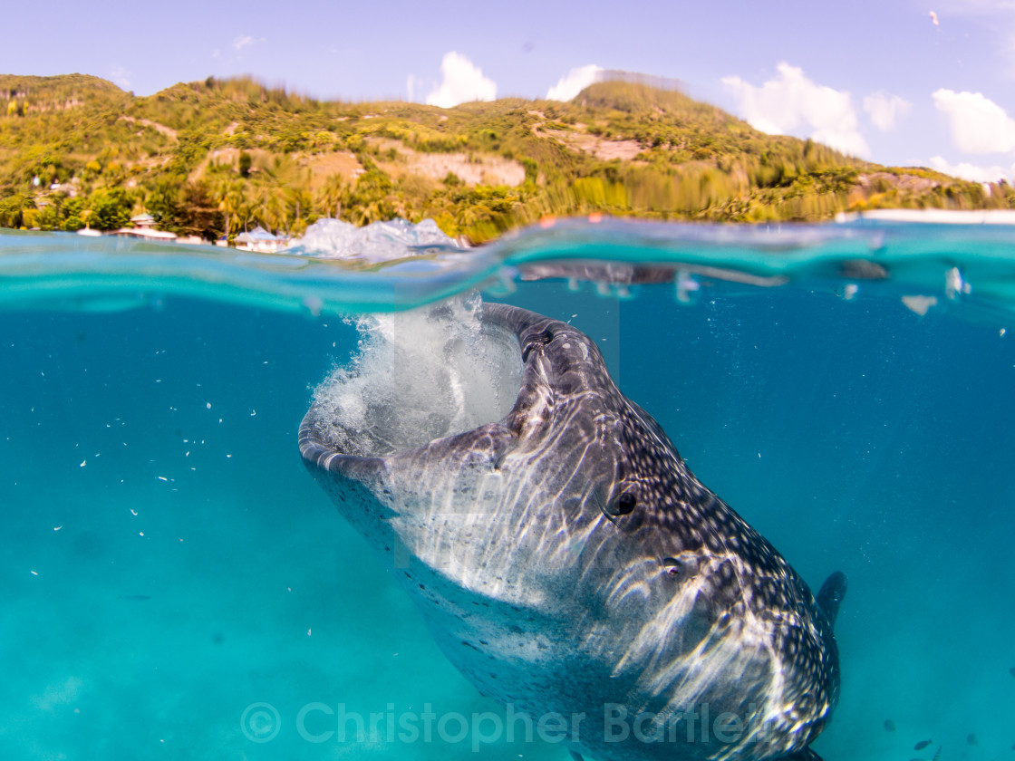 """Whale shark feeding 2"" stock image"