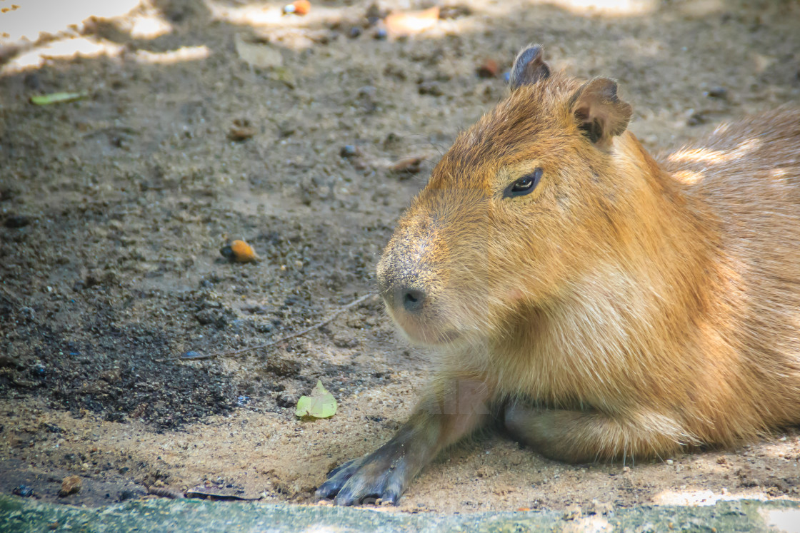A cute capybara (Hydrochoerus hydrochaeris), the largest living rodent in  the... - License, download or print for £1.24 | Photos | Picfair