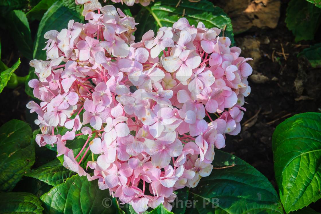 Pink Heart Shaped Hydrangea Macrophylla Flowers Background Common