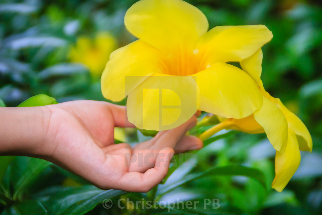 Bright yellow Golden Trumpet flower (Allamanda cathartica ... on kalanchoe pinnata plant, catharanthus roseus plant, golden trumpet plant, vining purple hoya plant, lantana plant, ficus lyrata plant, agave americana plant, desert spoon plant, yellow bells plant,