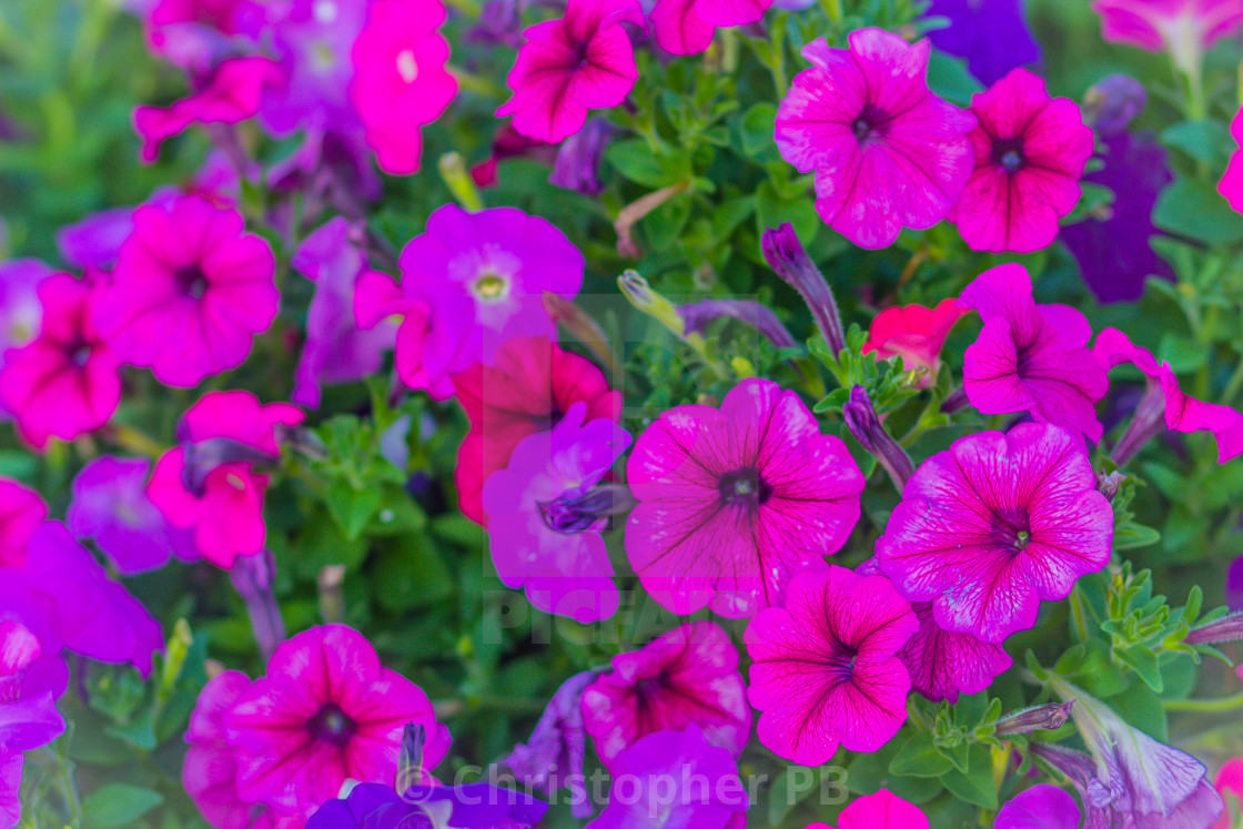 Beautiful Pink Purple Petunia Flower On The Flowerbed For Background License Download Or Print For 1 24 Photos Picfair