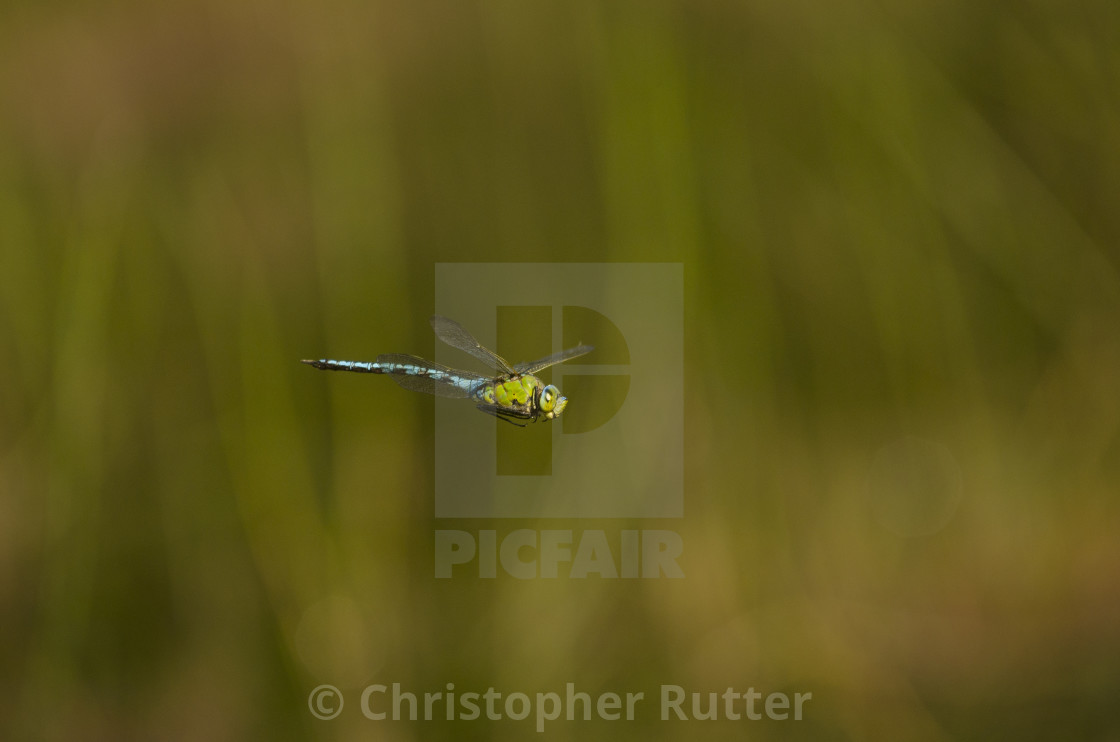 """Emperor dragonfly flying"" stock image"