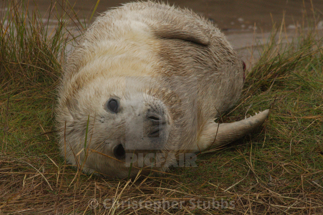 Grey Seal at Donna Nook
