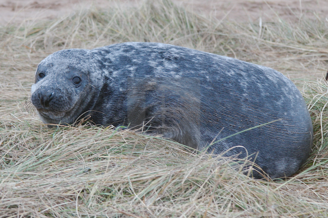 """Grey seal (Halichoerus grypus)"" stock image"