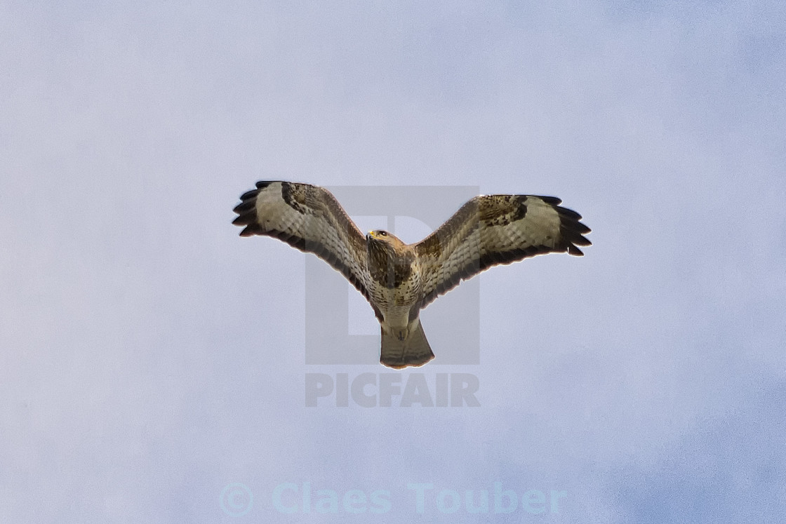 """flying common buzzard"" stock image"