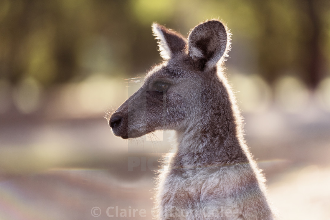 """Kangaroo in the light"" stock image"