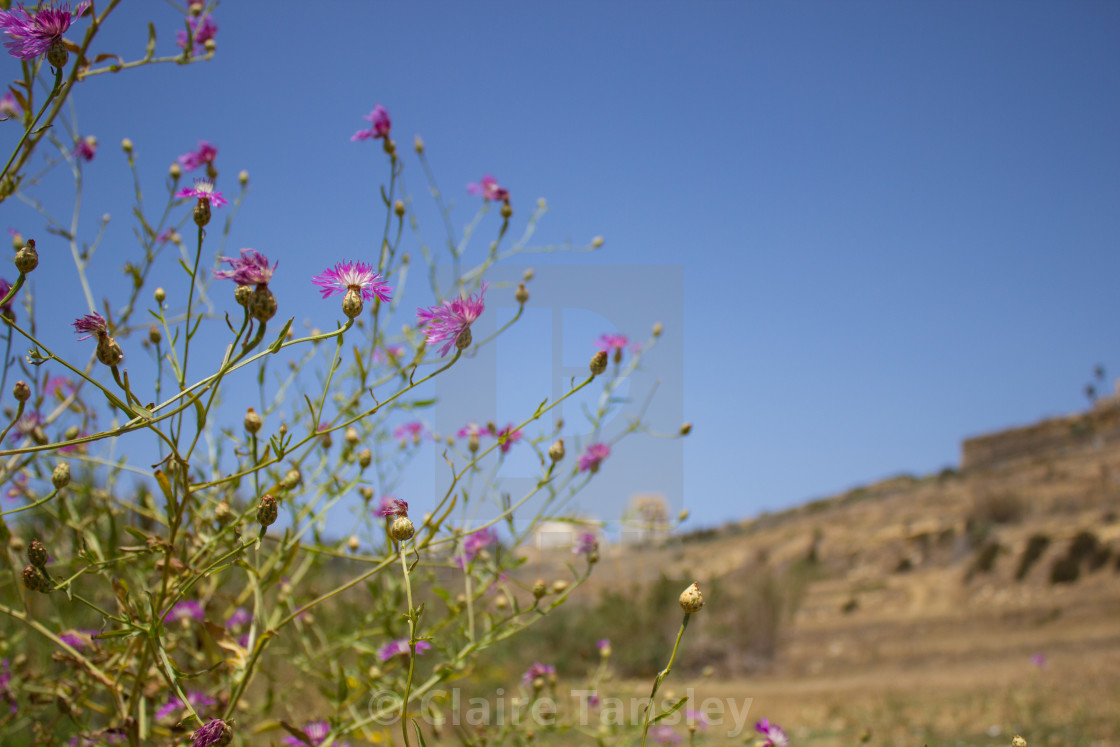 """Wild flowers on Gozo"" stock image"