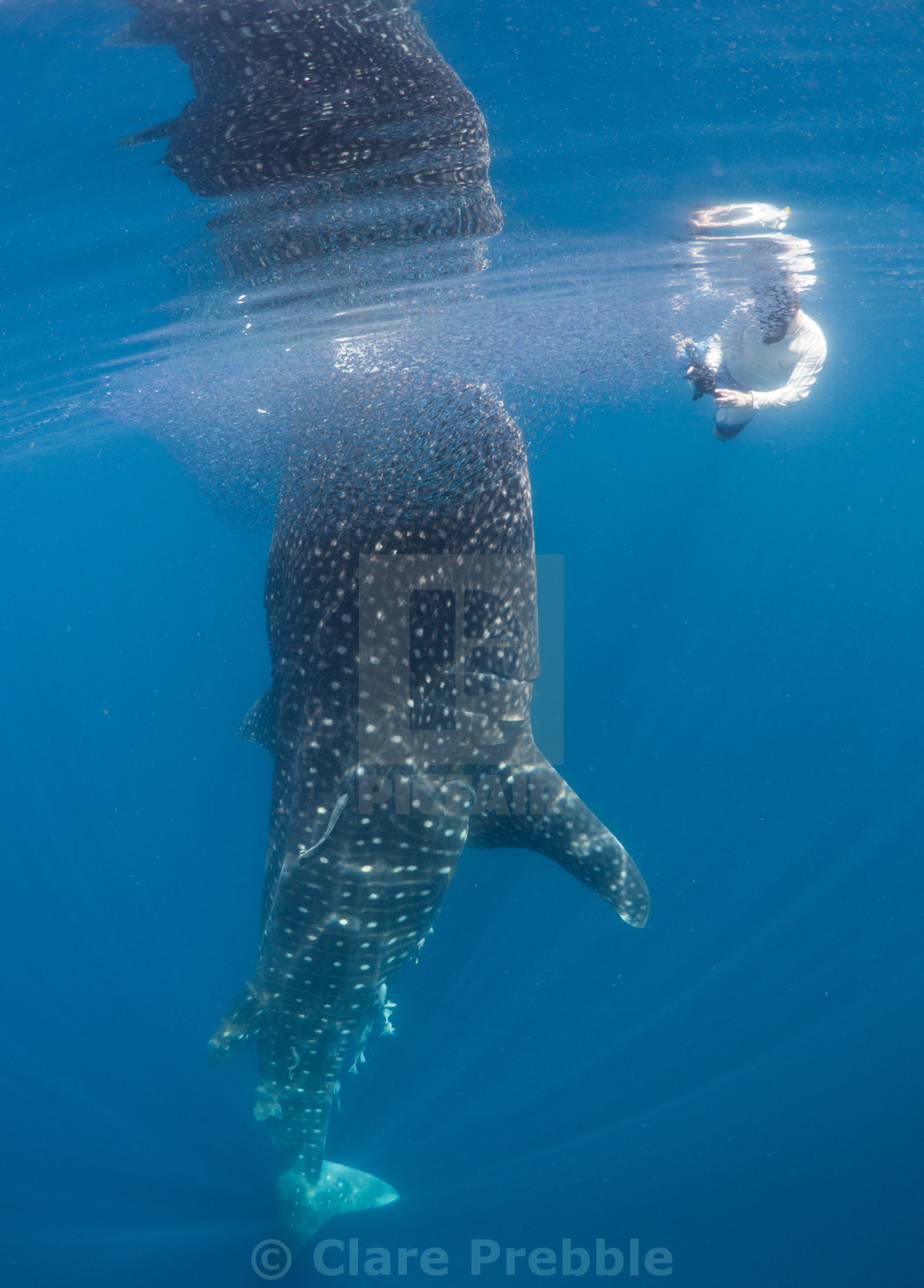 """Whale Shark and researcher"" stock image"