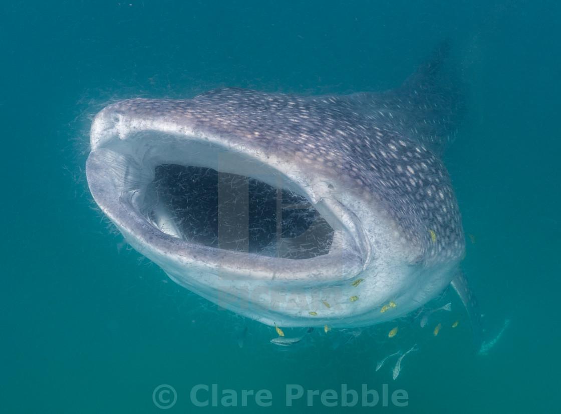 """Whale Shark Hoovers Plankton"" stock image"