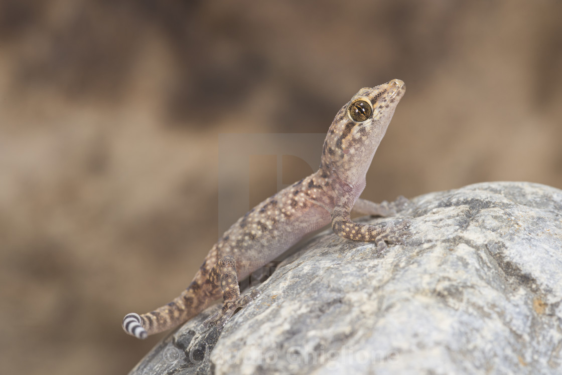"""""""Specimen of gecko belonging to the species Hemidactylus turcicus"""" stock image"""