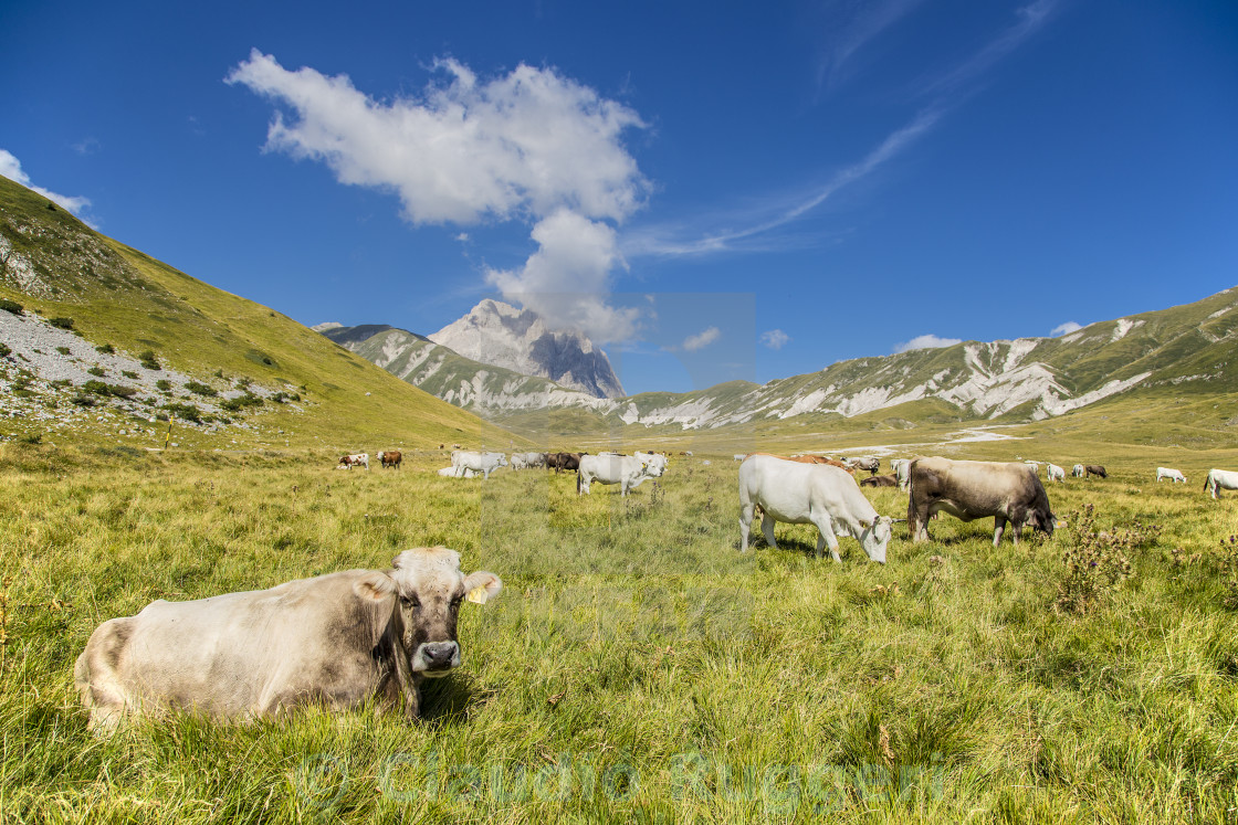 """Grazing cows"" stock image"