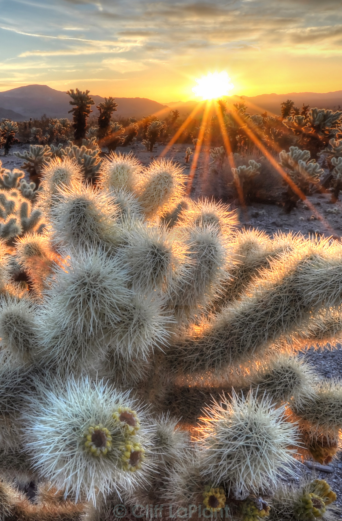 """Chollas Cactus Sunrise"" stock image"