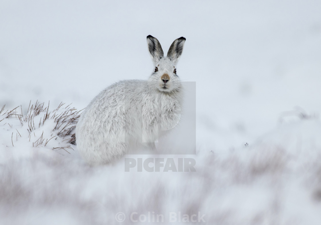 """Mountain Hares, Scotland"" stock image"