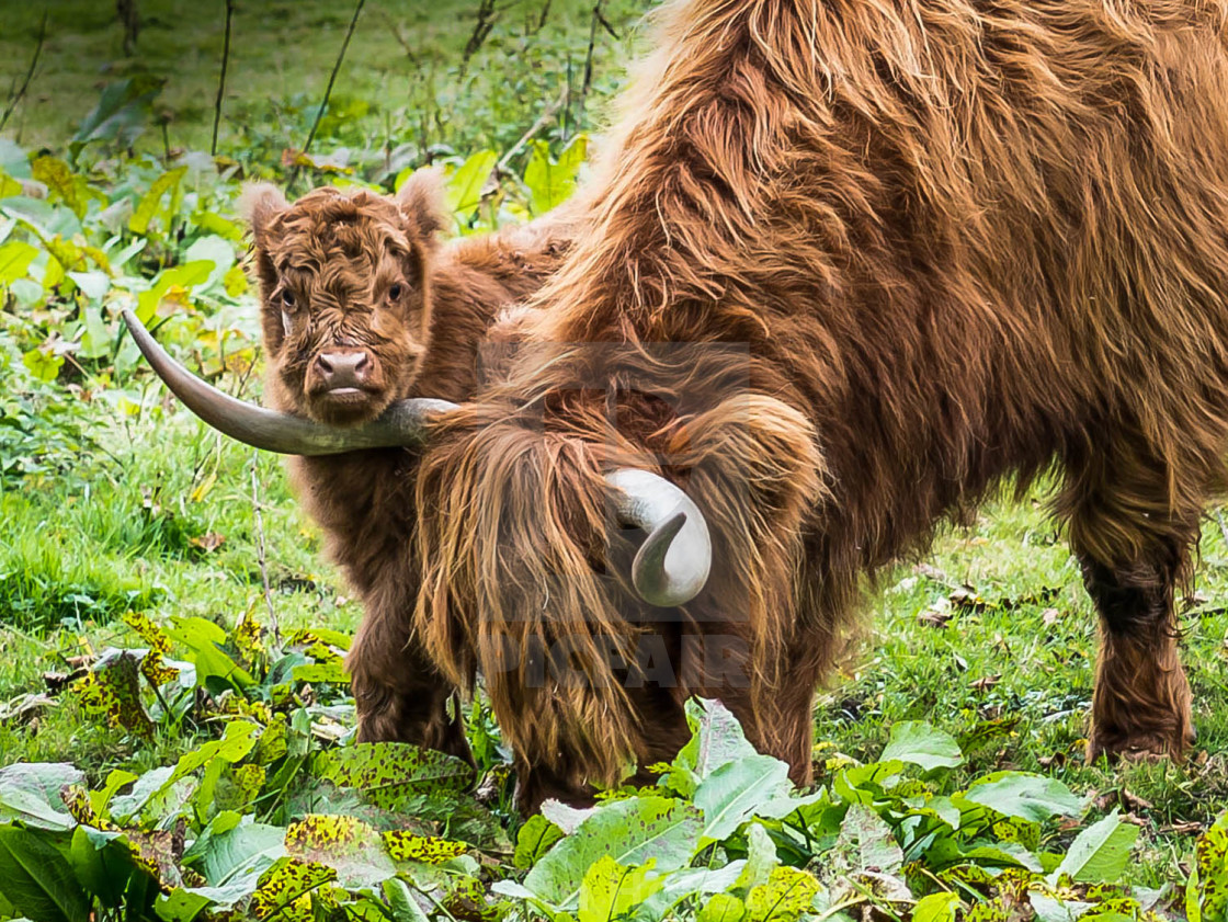 """Cow and Calf"" stock image"