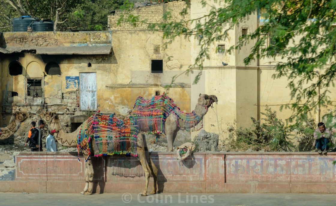 """Parked Camels."" stock image"
