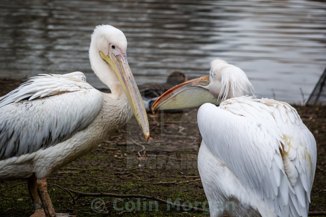"""Pelicans Chatting in St. James Park London."" stock image"