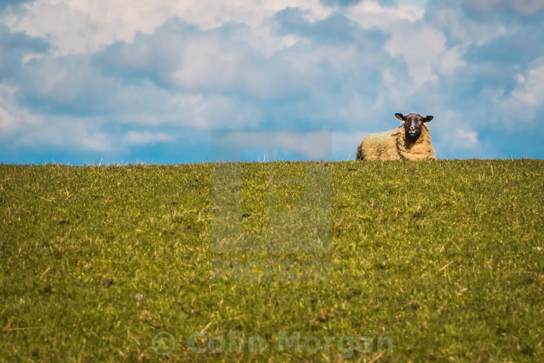 """The Sheep"" stock image"
