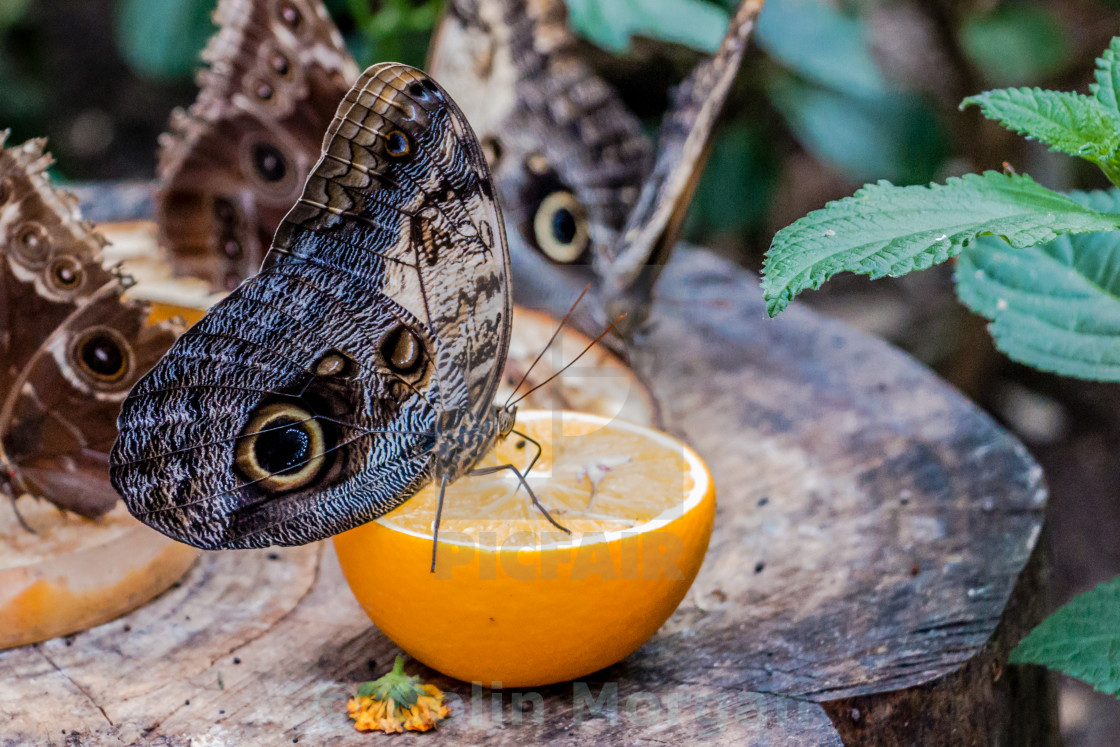 """""""Owl Butterfly"""" stock image"""