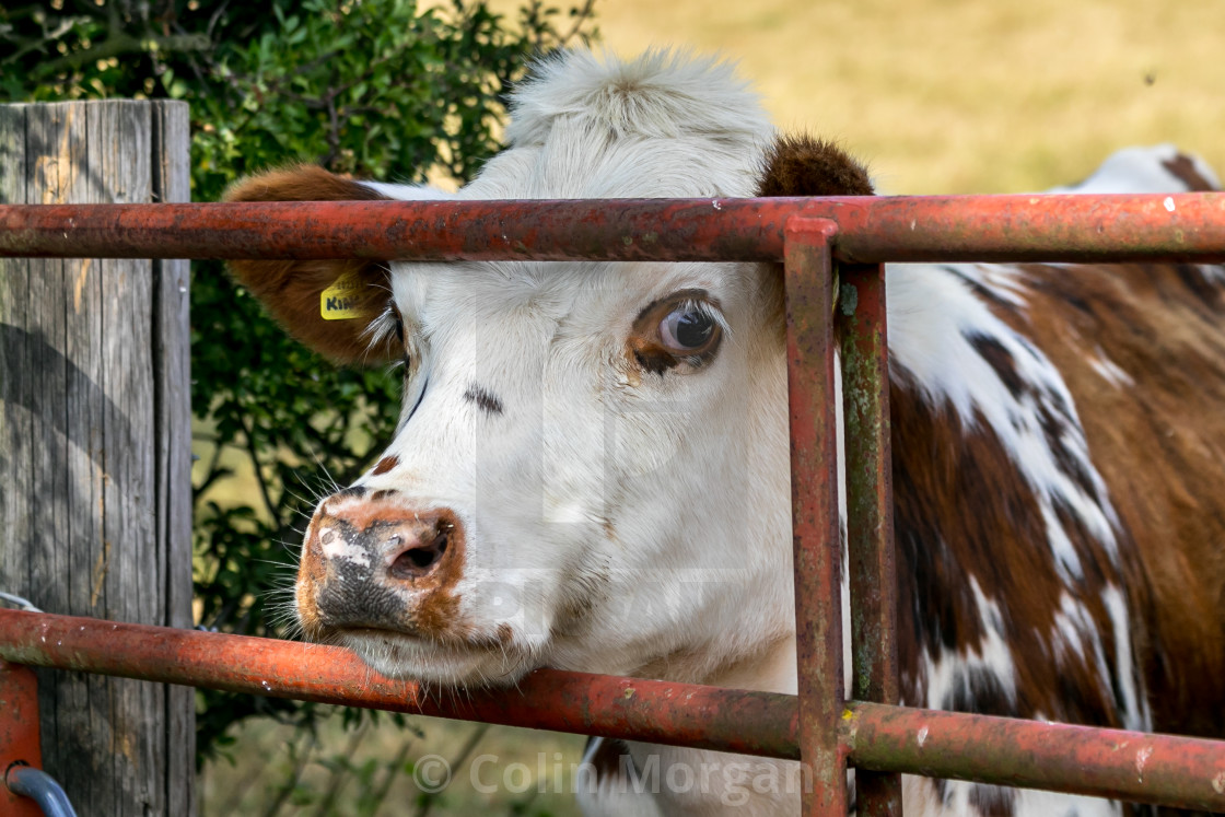 """Daisy the Cow"" stock image"