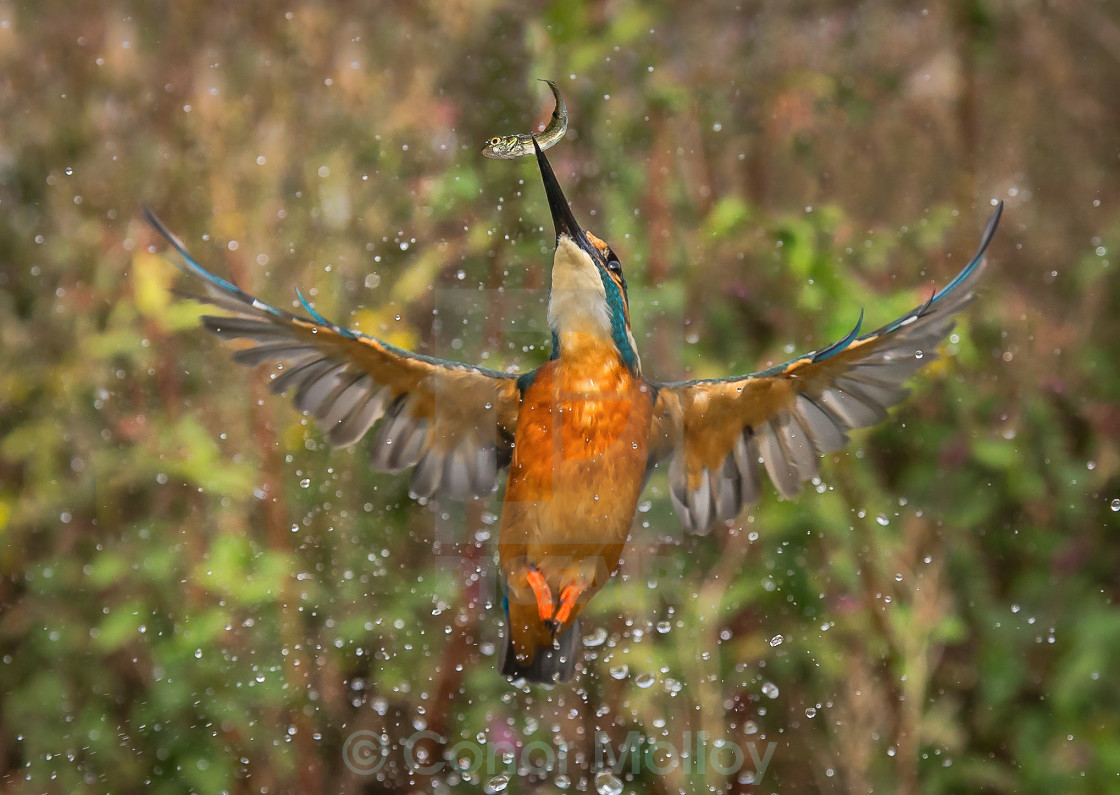 """Kingfisher diving"" stock image"